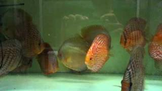 S.G.Discus お取り置き水槽1:Reserved Discus 1 for Ciaociao@S.G.Discus thumbnail