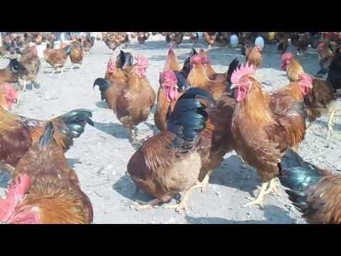 Trang trại gà đồi Phong Châu