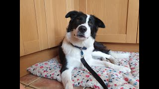 Alfie the Border Collie - 4 Weeks Residential Dog Training