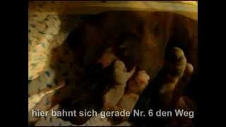 Labrador Retriever Welpen Geburt