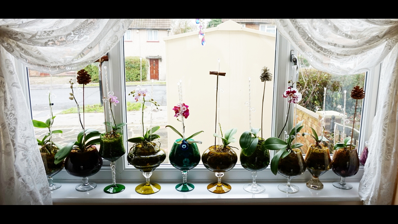 Watering Process New Repotting Display Orchid Phalaenopsis