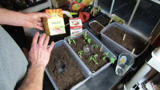 How to Water & Fertilizer Your Vegetable Transplants: Water Soluble Feeding  & Acclimation (3 of 3)