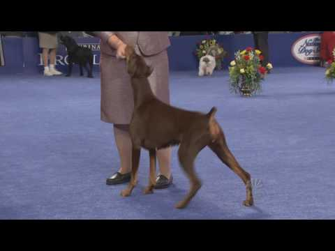 Doberman in Best in Show