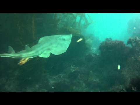 Shovelnose Guitarfish At Crystal Cove