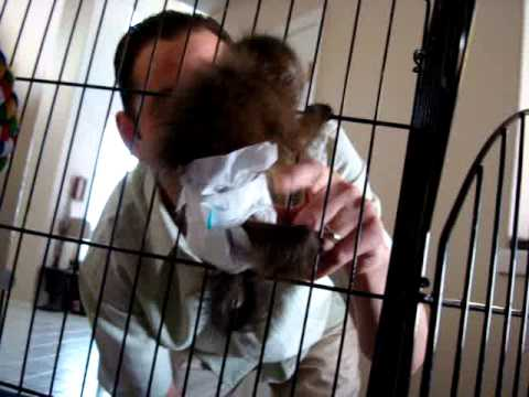 baby monkey nala sees her daddy