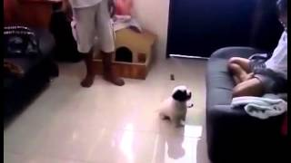 Playful Keeper Can't Wait To Pee! - Shih Tzu / Husky Mix Breed