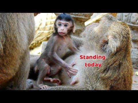 Bravo Baby monkey Jumbo he can standing now - Jumbo he look fresh and clear today