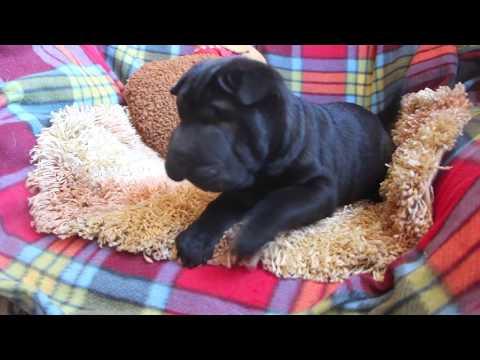 sharpei puppy black color