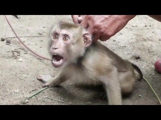 Coconut Industry Uses Terrified Monkeys
