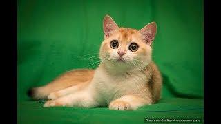 Кот Alex Lucky SunRay  Британский котенок черного золотого завуалированного окраса BRI ny 12