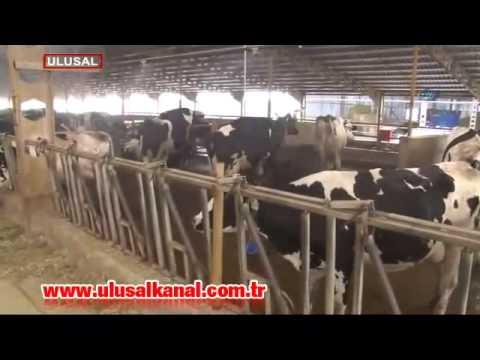 İneklerin süt verimi yüzde 20 arttı