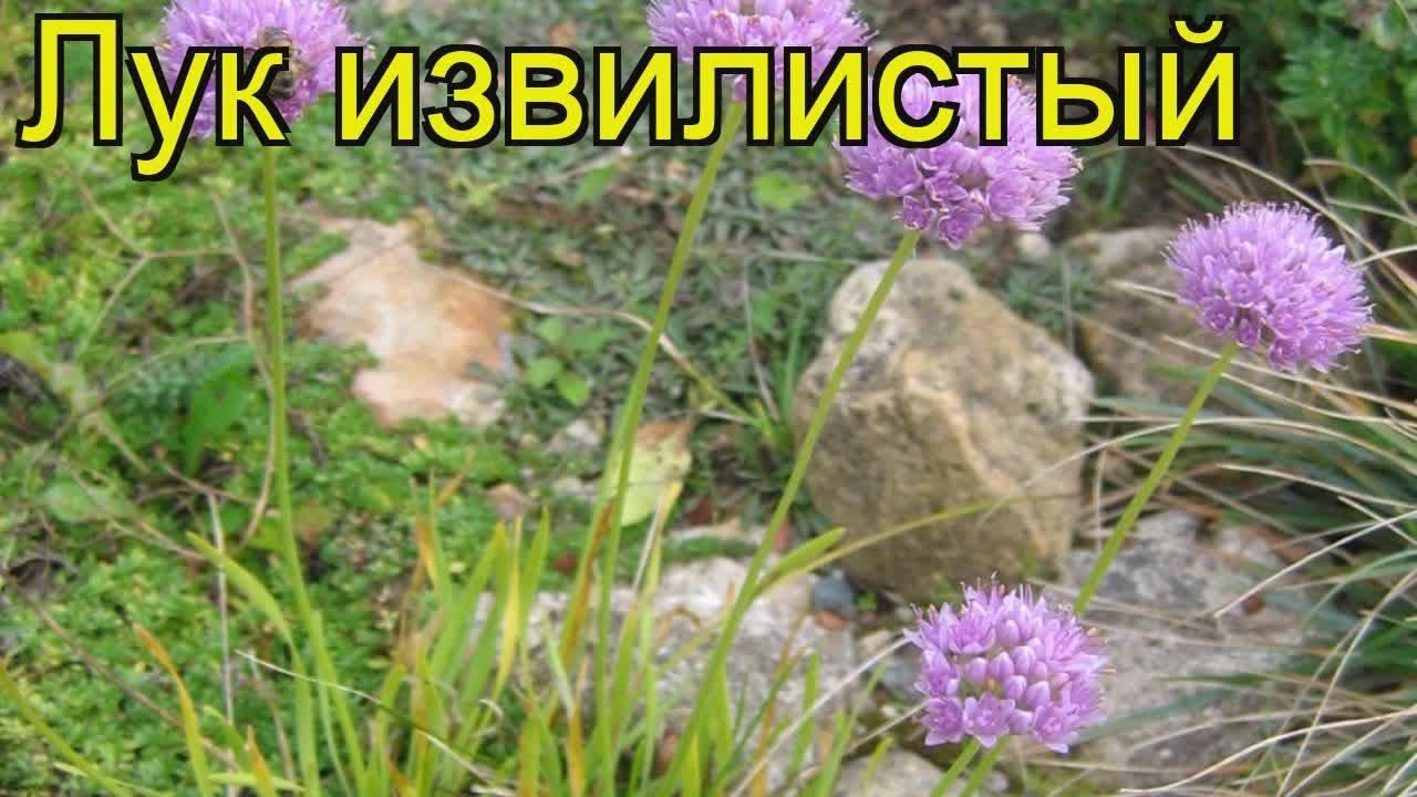 Цветок аллиум уход посадка и уход