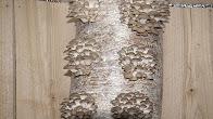 Мицелий вешенки своими руками. 1 часть Приготовление зерна - YouTube