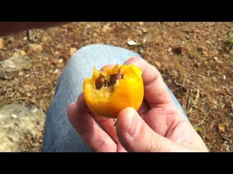 Израильский фрукт Шесек (Мушмула японская)