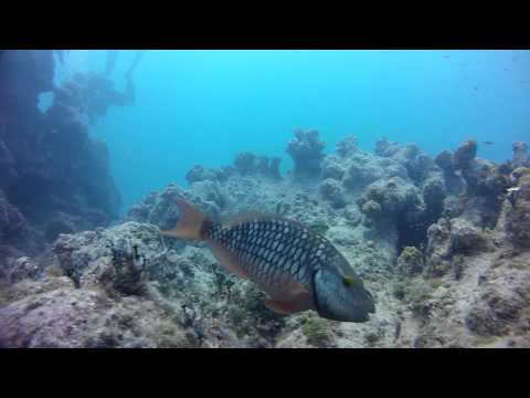 Stoplight Parrotfish Feeding