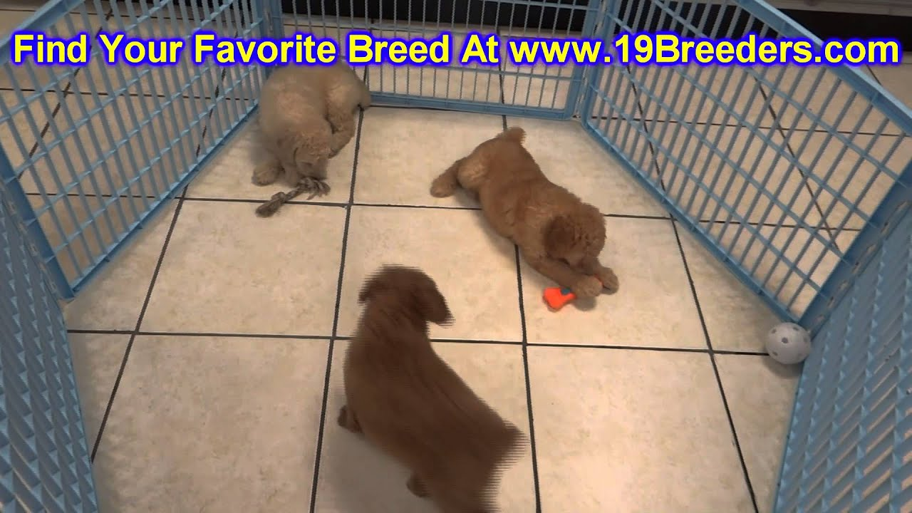 GoldenDoodle, Puppies, For, Sale, In, Butte Silver Bow, Montana, MT,  Helena, Havre, Kalispell