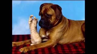 Собаки породы боксер