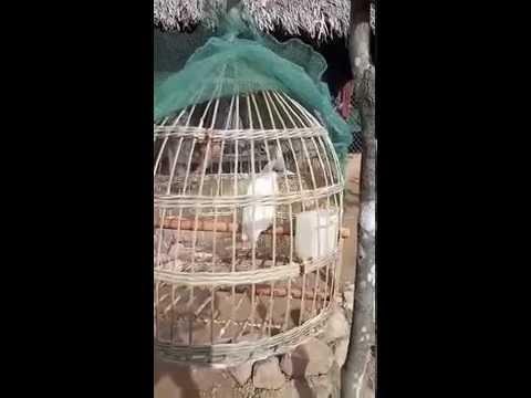 chim chào mào bạch tạng 100%.