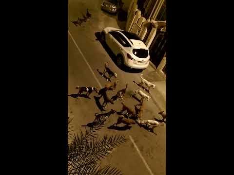 AGGRESSIVE STRAY DOGS ATTACK A CAT