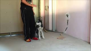 Body Eğitim  ( Köpek eğitimi - Temel - İleri İtaat Eğitimi )