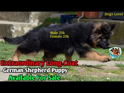 Long Coat German Shepherd Puppy Available For Sale 🐶 || With K.C.I Registered
