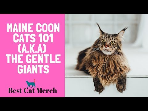 Maine Coon Cats 101 (Everything You Need to Know)