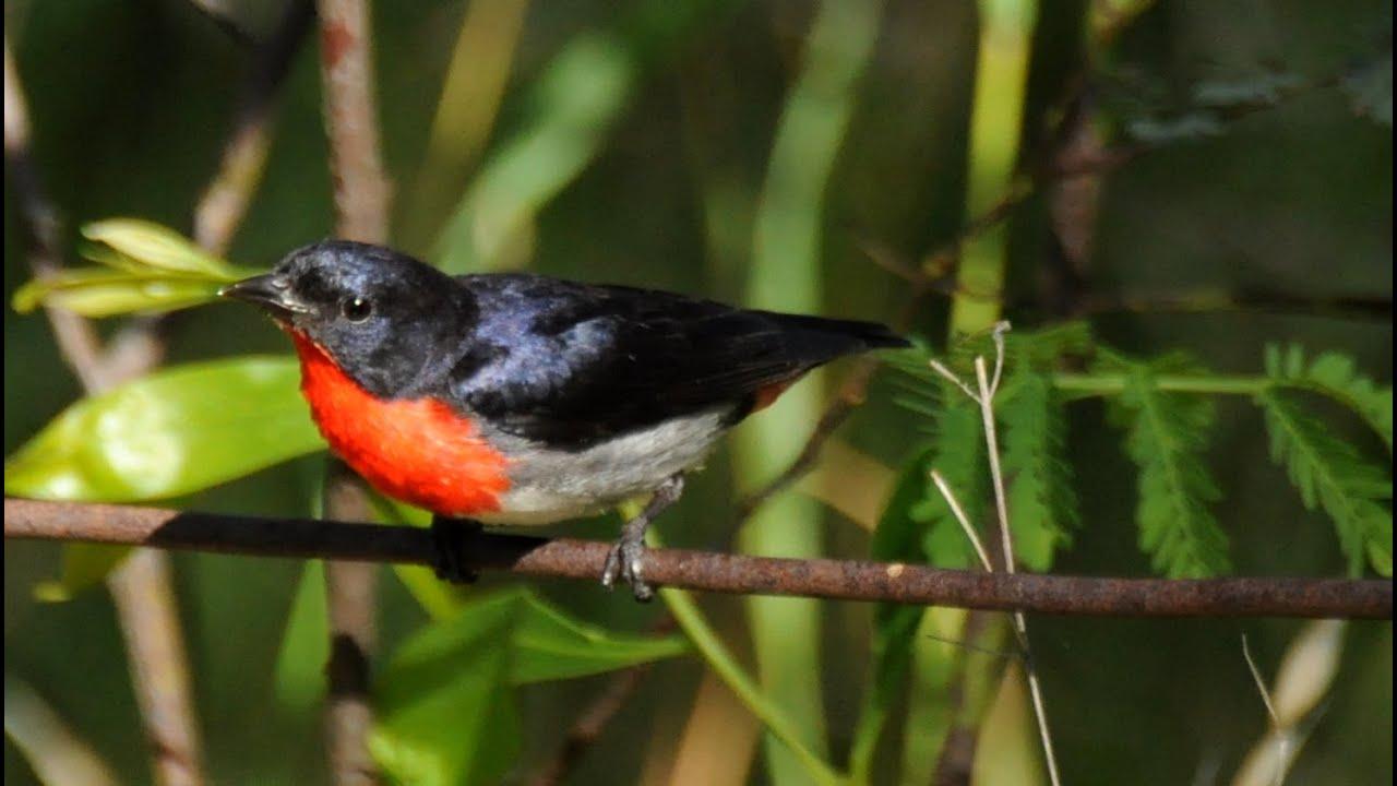 Mistletoe bird song