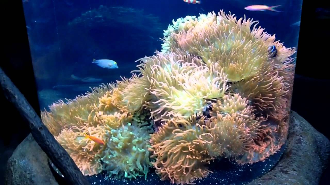 cylinder anemone tank at