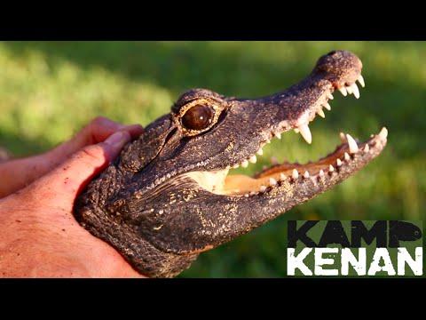 Feisty Dwarf Croc! World's Smallest Crocodile