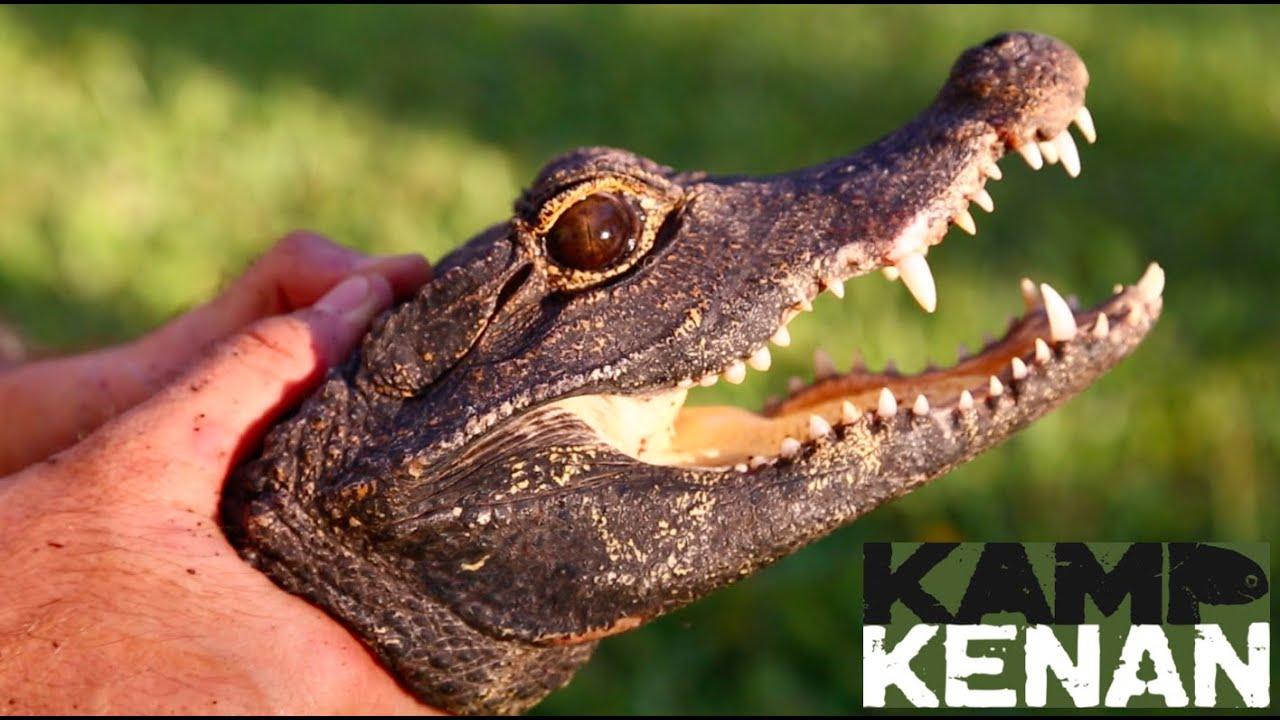 Feisty Dwarf Croc World S Smallest Crocodile Youtube