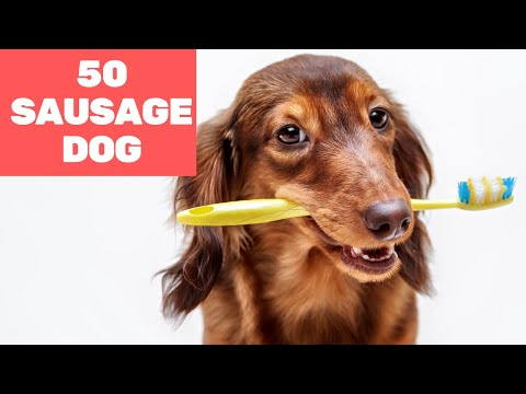 50 Funniest Moments of Sausage Dog 2020