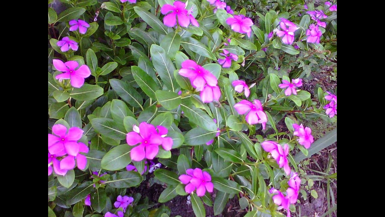 Beautiful Rosy Periwinklenayantara Is Anti Cancer Plant Youtube