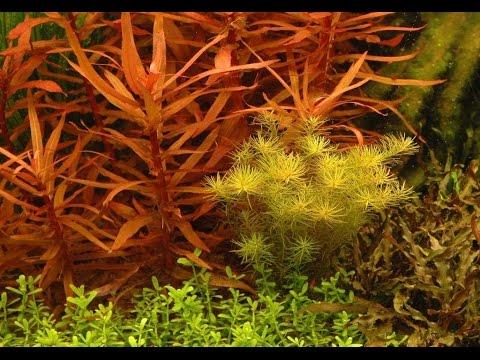 Ammannia Gracilis - Care and Info (AKA) Delicate ammannia / Red Ammannia