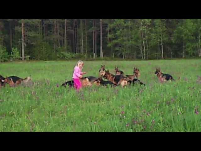 14 Njemačkih ovčara okružilo djevojčicu: Pogledajte šta se desi kada ona podigne ruke