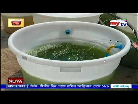 Spirulina production on rooftop || Prof Dr Jamal Uddin || SAU