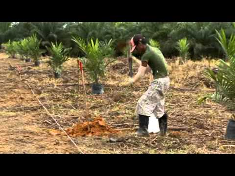 Oil Palm BMP - Immature Stage
