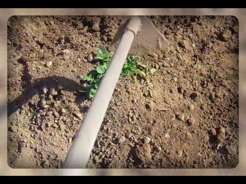Вопрос: Какие растения нельзя окучивать, чтобы не остаться без хорошего урожая?