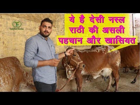 देसी नस्ल राठी गाय  की असली पहचान ये है || Rathi Best Breed Of Desi Cow ||Technical Farming ||