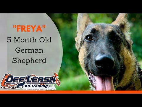 freya-|-5-month-old-german-shepherd-|-columbus,-ga-|-off-leash-k9-training
