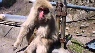 Newborn Baby Japanese Macaque   Jigokudani Snow Monkey Park, Nagano, Japan