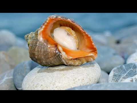 Вопрос: Космея Морская ракушка, как выглядит?