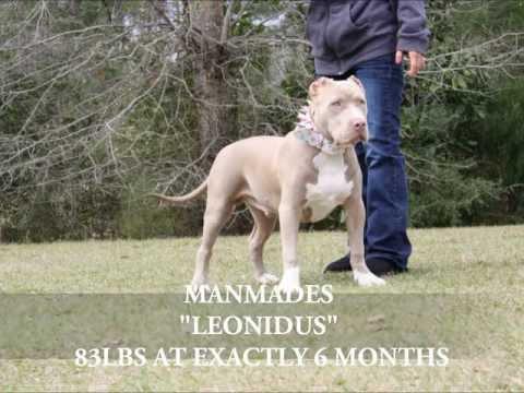 2012 BREEDING American Bully,blue pitbull,blue pitbulls,blue pitbull for sale,blue pitbull