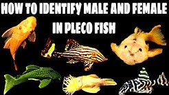 Pleco Fish Male And Female Differences