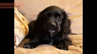 Cocker Spaniel Puppies For Sale In Ontario - Curiouspuppies.com - Puppies For Sale In Ontario