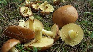Тихая охота. Сбор грибов. Маслята. Бузулукский бор.