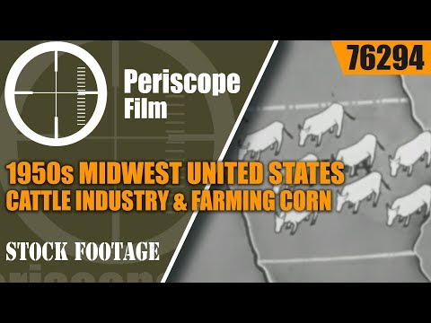 1950s MIDWEST UNITED STATES  CATTLE INDUSTRY & FARMING CORN  76294