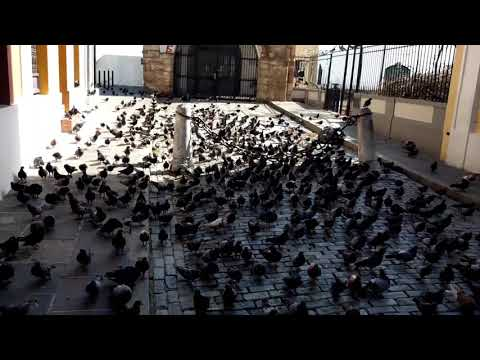 Post-María: Pigeons of Old San Juan 🇵🇷