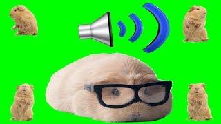 Какие звуки издают морские свинки? Что они означают? Как понять своего питомца?