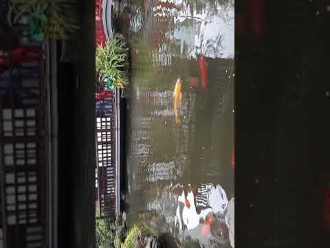 Hồ Cá Chép Koi Bùi Gia Cafe