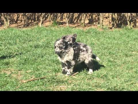Mudi female for sale Euro Puppy